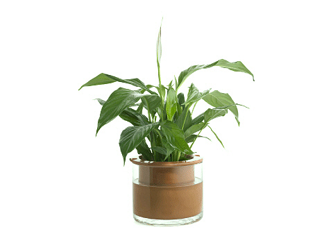 Medium Wet-Pot With A Lily