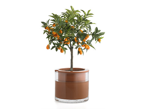 Large Wet-Pot With An Orange Tree